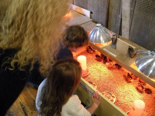A Dream Come to Life: Baby chicks in brooder