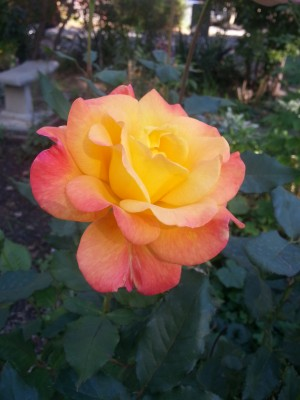 This old house: First Rose
