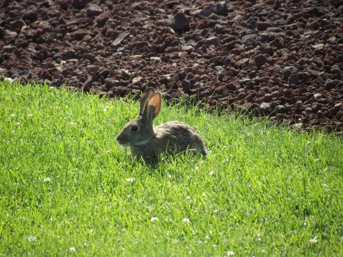 An American Dream Mother's Day Story: Wild sweet bunny at winery