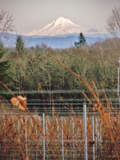 View of the beautiful Mt Hood from the vineyard of my house