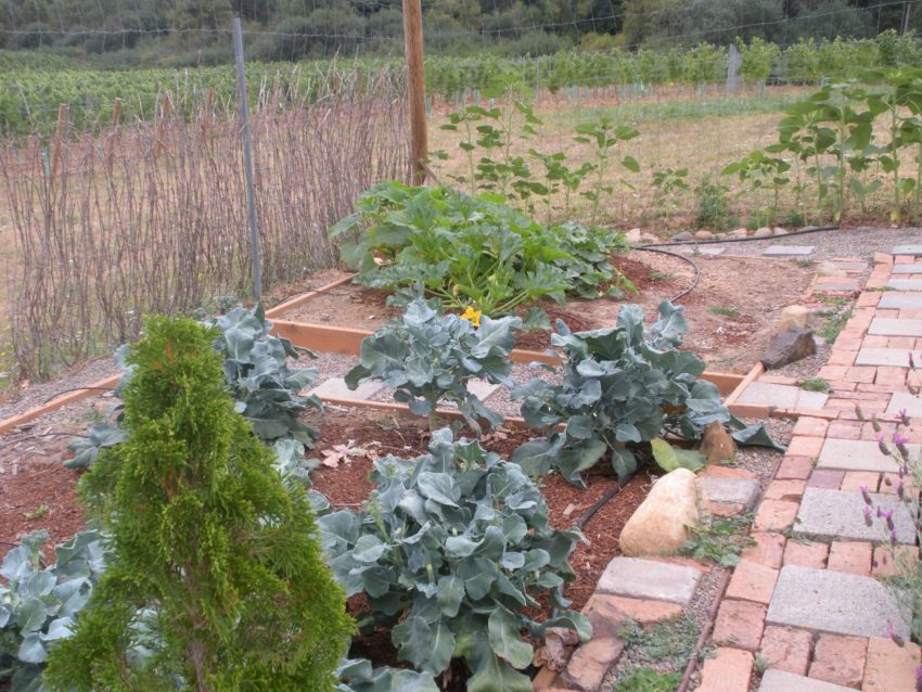 Wine Lover's American Dream Weight Loss Story: Herb and vegetable garden