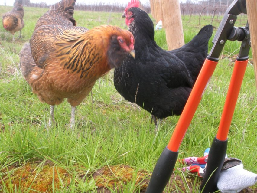 Balance Is the Key: Chickens help keep balance in the vineyard
