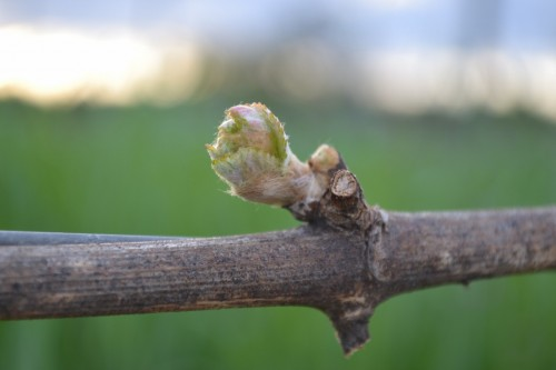 Spring has Sprung: Bud break in the vineyard