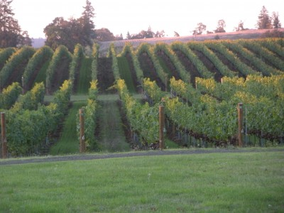 8 Best Places to See in the Fall - Fall vineyards in Oregon by Shellie Croft