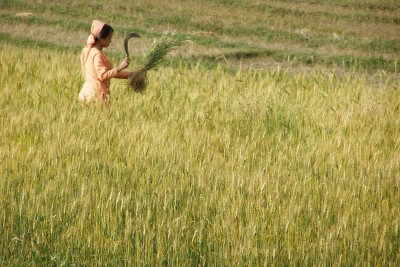 Harvest-time-in-Himchal-Pradesh-India