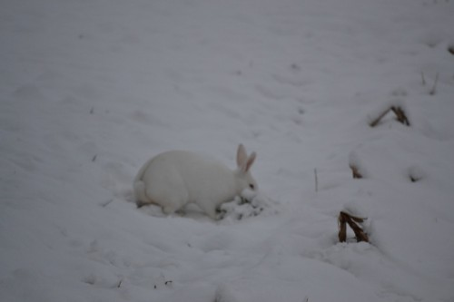 Living the American Dream: New Zealand bunny in the wild