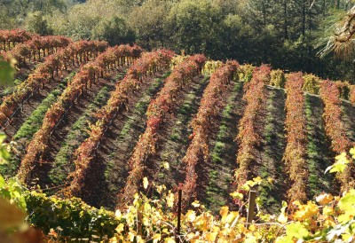 Dream Images Inspired by California Wine Country: Fall Vineyards in Apple Hill California