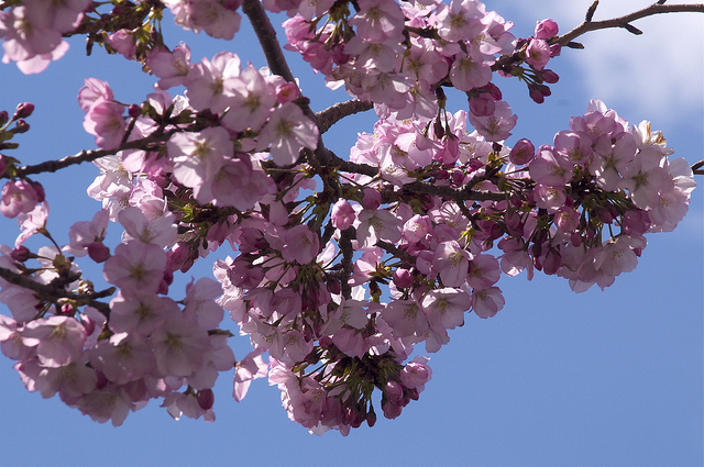 To Live Your Dreams Spring Into Action - Cherry Blossoms