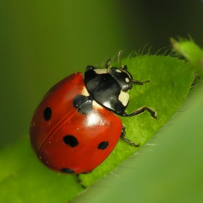 Ladybug Coccinellidae Sent Me A Text Message