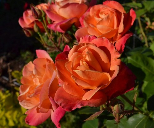 An American Dream Fairytale: Orange roses from my garden