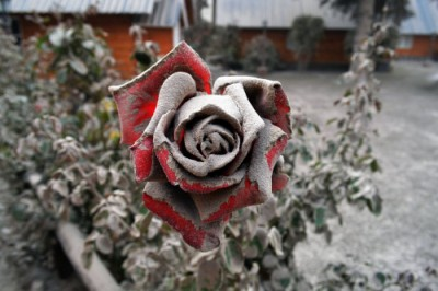 rose covered in ash