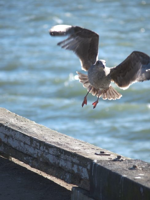 Wordless Wednesday: Seabird on San Francisco Adventures