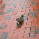 Squirrel in New York City