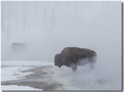 American Bison Graze in a Cloud of Fog Caused by Melting Snow Buy at Art.com