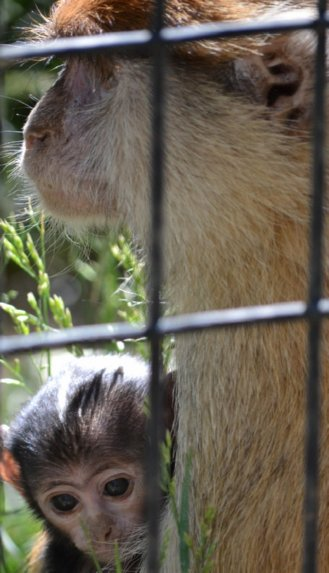 Colobus Monkeys at wild American Dream Family Vacation