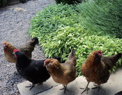 The Perfect Wine Country Dream Kitchen: Sweet free-range hens