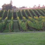Vineyard from my window