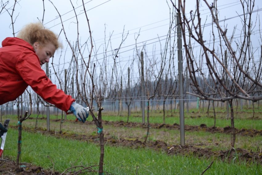 Pruning a Vineyard is Like Raising Children - Pruning the Pinot Gris