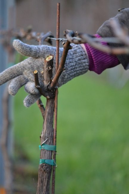 Living the American Dream: Pruning the Pinot Gris