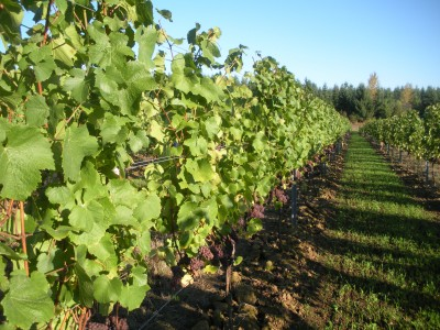 8 Best Places to See in the Fall - Fall in the Oregon Wine Country by Shellie Croft