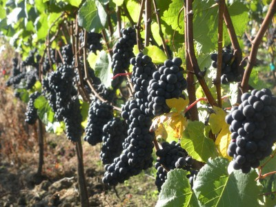8 Best Places to See in the Fall - Oregon wine grapes at the fall harvest by Shellie Croft