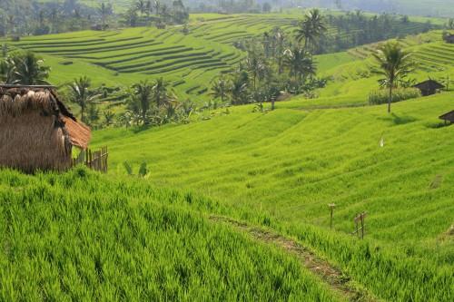 Jatiluwah rice terraces, Bali (pic - Natasha von Geldern)