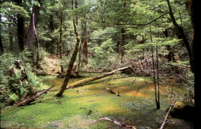 New Zealand beech forest (pic: Michael von Geldern)
