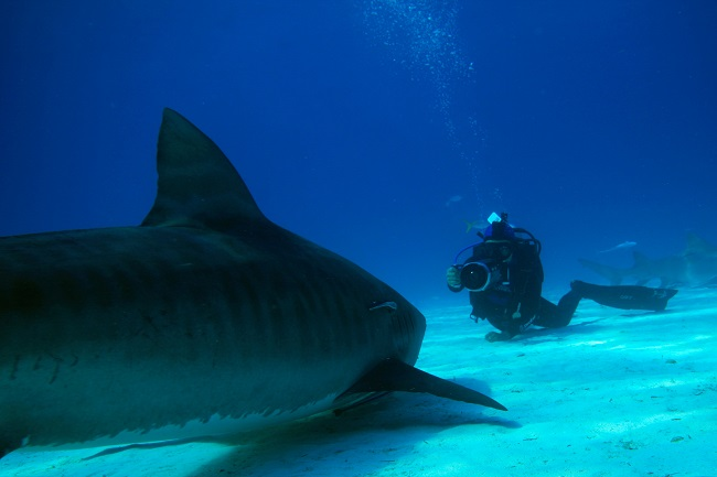 Shark Girl Madison Stewart Shows the World How Dreaming Gets Done Right: Madison Stewart filming tiger shark