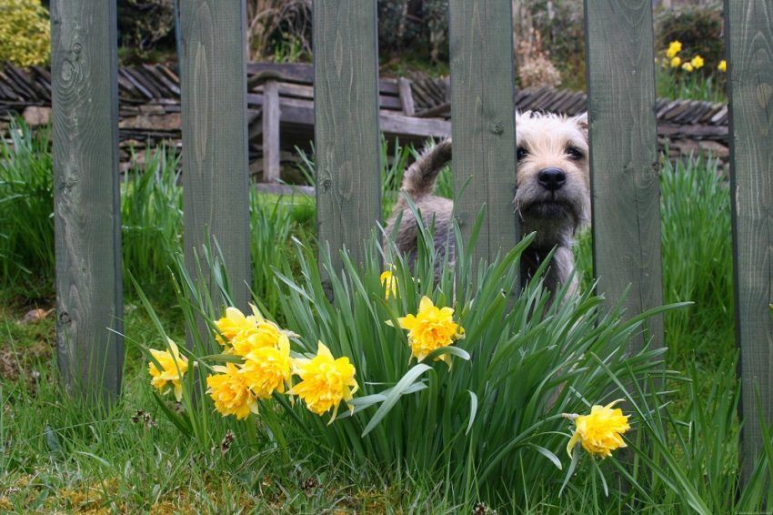 Best Travel Photos from the World Wandering Kiwi: English Lake District daffodils and terrier