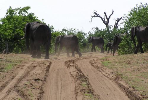 8 Best World Travel Stories: Botswana Elephants
