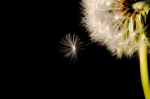 When Your Dream Is Too Small ƒ- Dandelion wishing