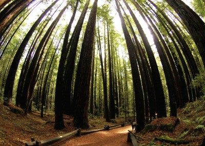 Armstrong Redwood Forest, Sonoma County, California