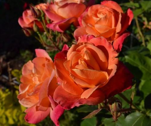 An American Dream Fairytale: Orange roses from my garden